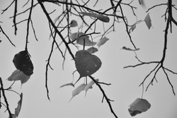 Few leaves on dry branches monochromatic background