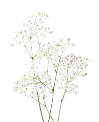 Few twigs with small white flowers of Gypsophila (Baby's-breath)  isolated on white background.
