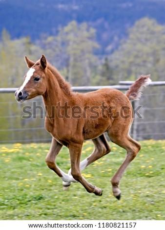 Few week old playfull Arabian Colt galloping at spring pasture. #1180821157