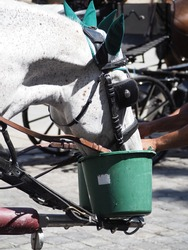 Fiaker Horses Drinking from a Water Bucket, Vienna Austria