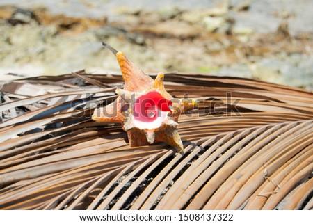 Fibonacci pattern. Shellfish. Nature proportion. Tropical paradise in Guna Yala, Kuna Yala, San Blas Islands, Panama. Spiral. mathematics. Golden ratio nature.