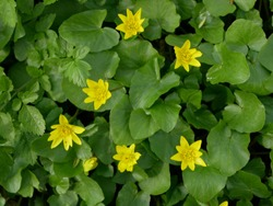 Ficaria verna, lesser celandine, pilewort or ranunculus ficaria yellow spring flowers close up. Spring background of flowers. Top view