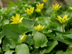 Ficaria verna, Ranunculus ficaria L., lesser celandine or pilewort, fig buttercup yellow flowers with green leaves in a clearing in the spring. Spring background of flowers.