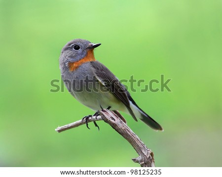 Ficedula parva (Taiga flycatcher)