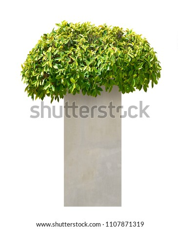 ficus altissima tree in...