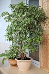 Ficus Benjamin in a pot in an indoor garden.