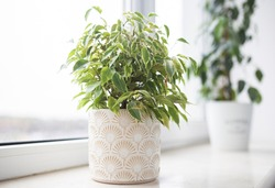 Ficus Benjamin in the pot standing in the window seal. Urban jungle concept. Natural air purifier.Houseplant portrait.