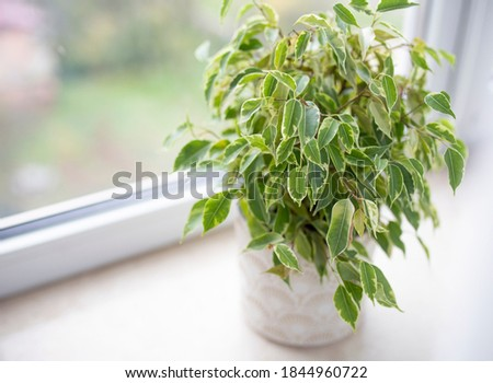 Ficus Benjamin in the pot standing in the window seal. Urban jungle concept. Natural air purifier.Houseplant portrait. Stock photo ©