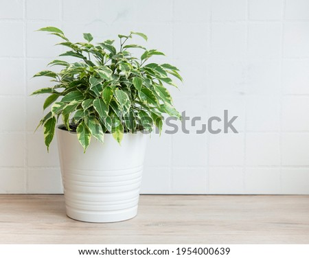 Ficus benjamin on the table, house plants Stock photo ©