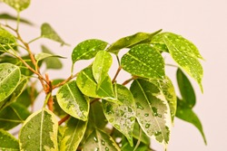 Ficus benjamin plant leaves in drops of water after spraying, in a pot on a light background close-up. Soft selective focus. Indoor plant for indoor floriculture and phytodesign.