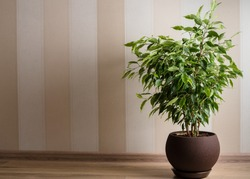 Ficus Benjamina tree or weeping fig in brown pot