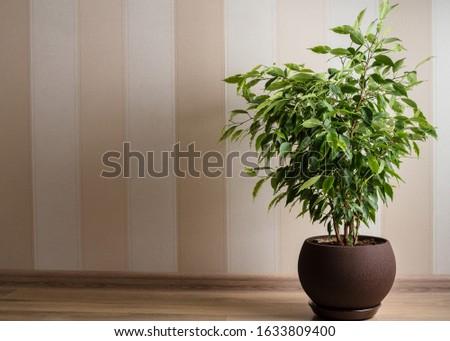 Ficus Benjamina tree or weeping fig in brown pot Stock photo ©