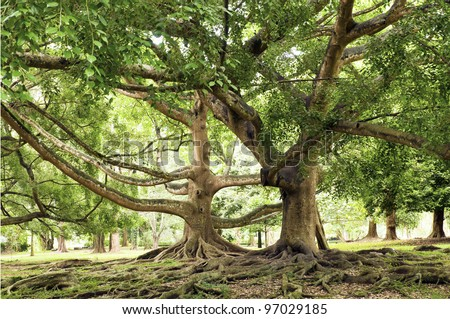 Ficus benjamina - tree with long branches