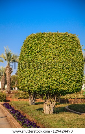 Ficus benjamina (weeping fig or ficus tree)