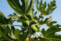 Ficus carica is an Asian species of flowering plant in the mulberry family, known as the common fig with fruits and leaves in a garden in Lorsch Germany