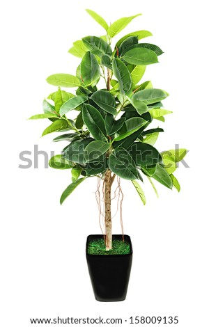 Ficus elastica Indian Rubber Bush in black flowerpot on white background