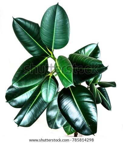 ficus elastica plant with isolated white background leaf - leaf shine spray #785814298