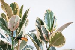 Ficus Elastica Tineke close up with  bird