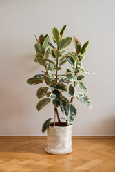 Ficus Elastica Tineke in pot