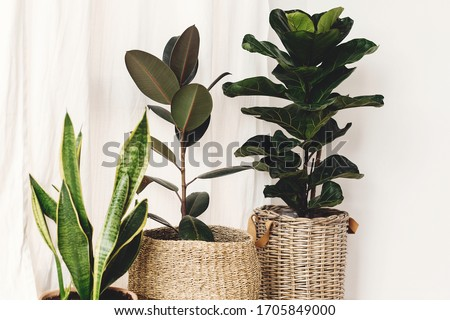 Ficus , Fiddle leaf fig tree, snake sansevieria plants in pots on sunny white background. Houseplants. Plants in modern interior room. Gardening at home Сток-фото ©