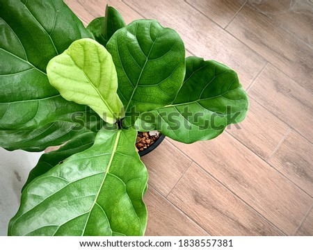 Ficus lyrata. Beautiful fiddle-leaf, fig tree plant with big green leaves in white pot. Stylish modern floral home decor in minimal style Сток-фото ©
