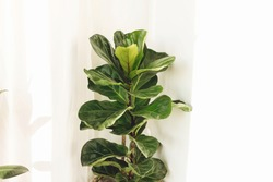 Ficus Lyrata. Beautiful fiddle leaf tree leaves on white background. Fresh new green leaves growing from fig tree. Houseplant. Plants in modern interior room
