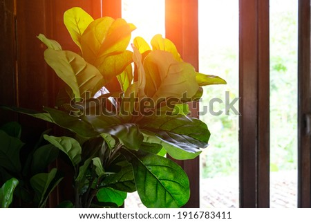Ficus lyrata, commonly known as the fiddle-leaf fig, it grows in lowland tropical rain forest.Green leaves plant with wooden lath ,sunlight background.Popular planted in the tree to decorate house. Сток-фото ©