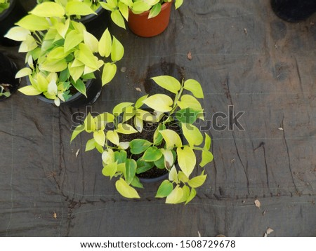ficus plant for indoor gardening, indoor house decorations and natural art