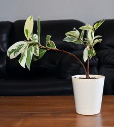 Ficus Prestige indoor plant in self watering pot