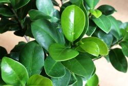 Ficus retusa leaves. Ornamental plant grown in pots.