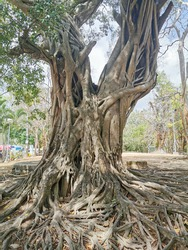 Ficus tree known as banyan tree with unique and amazing root on the ground.