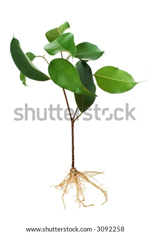 Ficus tree seedling with roots