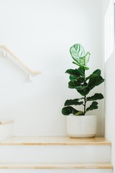 Fiddle leaf fig, Ficus lyrata, plant in circle white pot and place at the Corner of stair or ladder for decorate home or room.