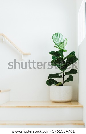 Fiddle leaf fig, Ficus lyrata, plant in circle white pot and place at the Corner of stair or ladder for decorate home or room. Сток-фото ©