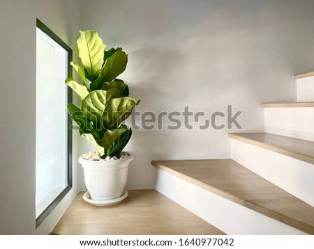 fiddle leaf fig tree in a white pot  Placed on the corner of the steps  Matches the window open in which the light penetrates Сток-фото ©