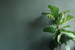 Fiddle leaf fig tree or Ficus Lyrata. Green leaves of bush of house plant before the gray wall