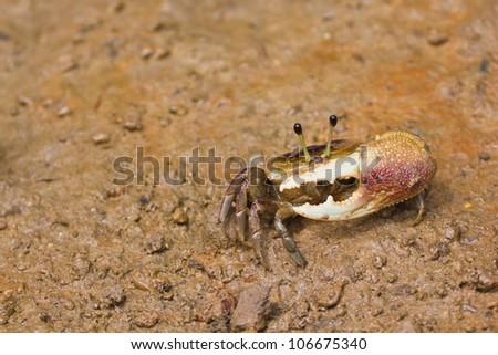 fiddler crab have asymmetric claw