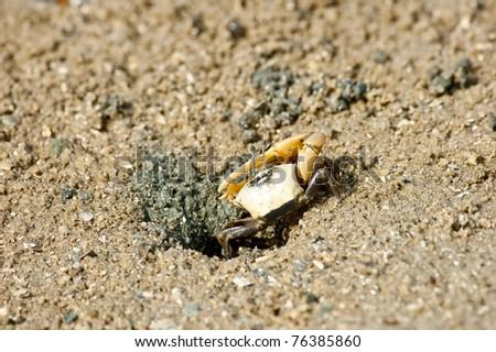 Fiddler Crab in the mangrove
