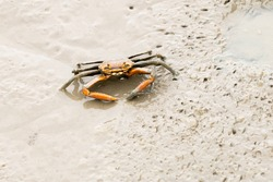 fiddler crab on sand beach.