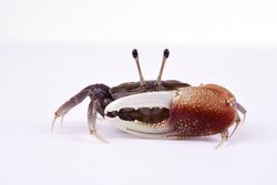 Fiddler Crab on White background