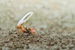 Fiddler Crab walking in the mangrove