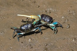Fiddler crabs fighting, Ghost crabs on the mud beach, Crabs of Thailand.