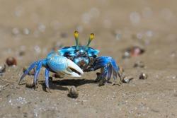 Fiddler crabs, Ghost crabs on mud beach.