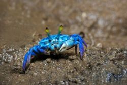 Fiddler crabs, Ghost crabs on the mud beach.