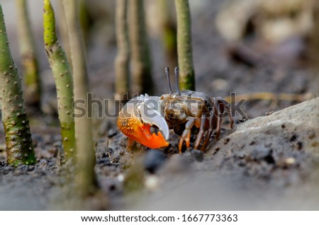 Fidler crab also known kepiting komando in Bahasa Indonesia at mangrove roots Zdjęcia stock ©
