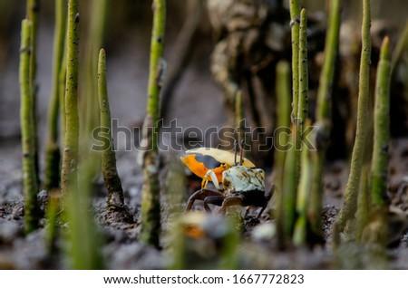 Fidler crab ( kepiting komando ) at mangrove roots Zdjęcia stock ©