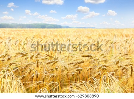 Field barley in period harvest on background cloudy sky #629808890