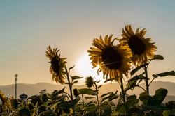 Field blooming sunflowers on a sunset background. Silhouette of sunflower field landscape.
