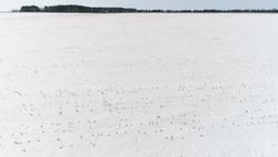 Field By Frozen Sowing. Aerial View. Quadrotor Filming