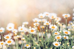 Field chamomiles flowers closeup. Beautiful nature scene with blooming medical chamomiles in sun day. Alternative medicine Spring Daisy. Beautiful meadow. Summer background.